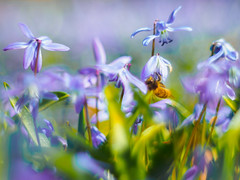 17°C (davYd&s4rah) Tags: spring frühling macro flower blume sun sunset beautiful great light regensburg pentacon 50mm f18 germany deutschland ratisbona garten garden bokeh lila purple focus low angle pov dof background olympus em10markii manual handheld 17°c april bee biene insect flying