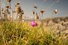 Lonely flower (christerhamre1) Tags: golta sotra hordaland vestlandet norge norway natur nature høst autumn nikon nikond5300 d5300 sigma sigma1020 flower blomst lastonestanding rosa strandnellik thrifts
