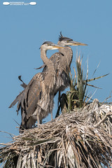 Waiting For Junior (freshairphoto) Tags: wading great blue heron pair tree nest viera wetlands florida artspearing nikon d500 200500 zoom handheld