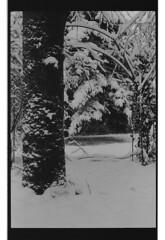 P60-2018-017 (lianefinch) Tags: argentique argentic monochrome blackandwhite blackwhite bw noirblanc noiretblanc nb nature analogique arbre tree analog jardin garden hiver winter snow neige frozen gelé