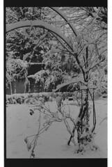 P60-2018-020 (lianefinch) Tags: argentique argentic analogique monochrome blackandwhite blackwhite bw noirblanc noiretblanc nb nature analog jardin garden hiver winter snow neige frozen gelé