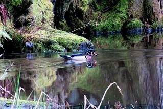 Wood Duck, Whatcom County, WA 4/8/18