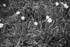 Daffodil in the woods (billdsym) Tags: annan scotland flower flowers daff daffodil wood forest trees blackandwhite bw