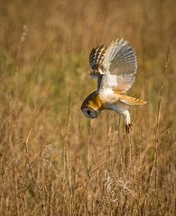 Barn Owl - hunting (Paul West ( pwest.me )) Tags: nature barnowl countryside hunting owl barn