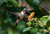 Ruby-throated Hummingbird (PeterBrannon) Tags: archilochuscolubris bird florida hummingbird migration nature rubythroatedhummingbird wildlife lantana