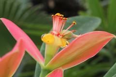 Euphorbia punicea Sw. - Palmengarten der Stadt Frankfurt am Main (Ruud de Block) Tags: ruuddeblock frankfurtbotanicalgarden euphorbiaceae euphorbiapunicea euphorbia punicea