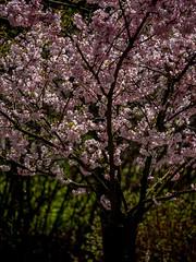 in voller Blüte 01 (p.schmal) Tags: panasonicgx80 hamburg farmsenberne zierkirschenblüte