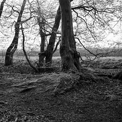 superikonta532019 (salparadise666) Tags: zeiss ikon super ikonta tessar fuji neopan caffenol nils volkmer landscape rural nature black white monochrome tree vintage folding medium format film camera 6x6 square wood forest hannover region niedersachsen germany