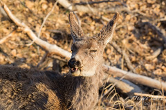 Mule Deer doe makes faces at the photographer
