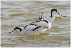 """N° 949 / Avocette élégante ( Recurvirostra avosetta ) Focus Distance : 19.95 m """" photo prise au parc ornithologique du Marquenterre ( France ) """" (Norbert Lefevre) Tags: limicoles avocette marquenterre nikon d500 300mmf4"""