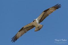 Male intruder Osprey makes flybys