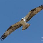 Male intruder Osprey makes flybys thumbnail