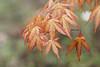 Maple (greggys stuff) Tags: maple singleton ornamentalgardens