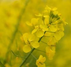 Yellow !! (LeT@ines) Tags: nikon3200 fleur flou flower hautevienne limousin