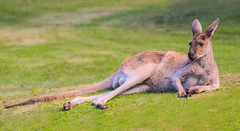 Relaxed (f_gray1) Tags: kangaroo relaxed animal wildlife nature fun cool