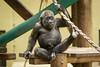 2018-03-15-12h41m10.BL7R0524 (A.J. Haverkamp) Tags: canonef100400mmf4556lisiiusmlens yanga amsterdam noordholland netherlands zoo dierentuin httpwwwartisnl artis thenetherlands gorilla dob29102016 pobhannovergermany nl