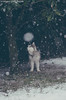 DSC_8502 (MiriamGaiaRainer12) Tags: alskan malamute snowstorm dog sled snow snowy snowing garden winter
