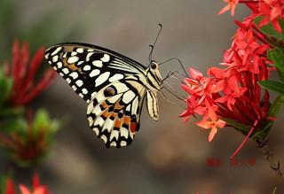 無尾鳳蝶 Papilio demoleus @ Taiwan