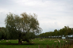 Shaun (Atreides59) Tags: vert green jaune yellow ciel sky belgique belgium mouton sheep moutons sheeps animal animals animaux arbre tree arbres trees bunker blockhaus blockhouse guerre mondiale world war ww wwii ww2 welt krieg weltkrieg mur atlantique murdelatlantique histoire history vestige vestiges atlantic atlantik wall atlantikwall pentax k30 k 30 pentaxart atreides atreides59 cedriclafrance
