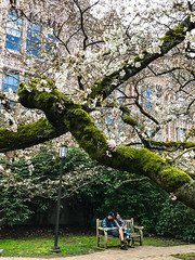 Cherry Blossom Day (ScottElliottSmithson) Tags: cherry blossom cherryblossom spring universityofwashington seattle washingtonstate washington pacificnorthwest iphone dtwpuck scottelliottsmithson scottsmithson flower floral florid pink tree moss nature landscape