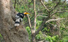 Great Indian Hornbill (pointn'click) Tags: kaziranga wildlife grasslands forest animals birds sanctuary