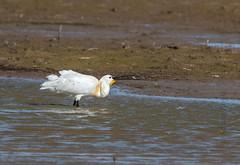 DSC_3491 (Adrian Royle) Tags: lincolnshire framptonmarsh rspb nature wildlife bird heron spoonbill nikon