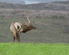 Back Scratcher (Explored 3/21/18) (opheliosnaps) Tags: animal wild nature outdoors point reyes national seashore tule elk cervus canadensis nannodes green grass bright colorful canyon antlers rack california usa 2018 ungulate deer pose explore
