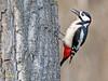 Pico picapinos (Dendrocopos major)   (91) (eb3alfmiguel) Tags: aves pájaros carpintero piciformes picidae pico picapinos dendrocopos major pájaro árbol hierba animal bosque madera