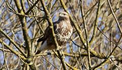 Common Buzzard (Lt_Dan) Tags: commonbuzzard bird birdofprey uccello rapace nature natura natureshot naturephotography alpago belluno veneto italia italy canon600d canon400f56lusm