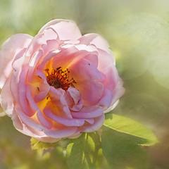 Sunny garden (BirgittaSjostedt) Tags: rose garden plant summer blossom flower macro closeup soft pastel texture unique