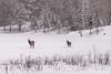 Elk crossing frozen lake (jklaroche) Tags: parcomega