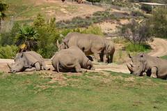 DSC_5546 (Andrew Nakamura) Tags: animal mammal rhino rhinoceros whiterhino southernwhiterhinoceros lyingdown sandiegozoosafaripark safaripark escondido