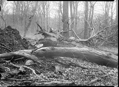 icauniversal230318-7 (salparadise666) Tags: ica universal palmos tessar 180mm 9x12 fomapan caffenol nils volkmer vintage analogue film large format view folding camera landscape nature horizontal dof hannover region niedersachsen germany north german plains lowlands roots woods forest