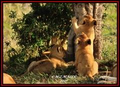 YOUNG CUBS (Panthera leo)  ......MASAI MARA......SEPT 2017 (M Z Malik) Tags: nikon d3x 200400mm14afs kenya africa safari wildlife masaimara keekoroklodge exoticafricanwildlife exoticafricancats flickrbigcats leo lioncubs