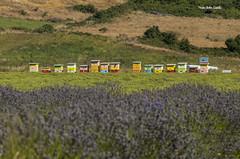 Apicultura (ToBriTem) Tags: abejas bee panales lavanda nature enfok2 frutillar