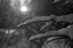 (Armin Schuhmann) Tags: 2017 olympus om2 vintagecamera vintagelens vintage zuiko mcautos 50mm f14 old manual yellowfilter prime apx apx400 agfa negative 400asa kodak d76 scan selfdeveloped shootfilm schwarzweiss sw schwarzundweiss schwarzweis northeast noiretblanc blackandwhite blackwhite bw pelicula filmisnotdead filmphotography filmscan filmphoto filme film argentique analogue analogic analogo analog monochrome monochrom estrie easterntownships quebec canada nature natural trees sunlight bokeh winter snow spruce branch needles 50mmf14