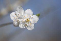 Tendre duo *---- ° (Titole) Tags: bloomingtree two titole nicolefaton flowers white bluesky stamen