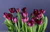 """""""Spring on our diningtable"""" - Purple Tulips (Fred / Canon 70D) Tags: falconeyessoftbox falconeyesoctabox falconeyes falconeyesskk2150d ef50mmf14usm canon70d canoneos canon spring spring2018 flowers tulips tulip tulpen tulp eefde closeup purple"""
