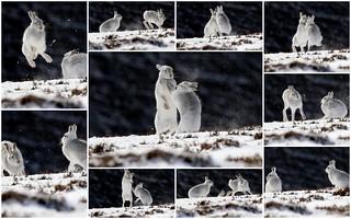 Boxing Mountain Hares
