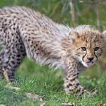 Cheetah cub showing tongue thumbnail