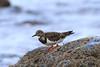 Turnstone (Dougie Edmond) Tags: bird beach water birds nature wildlife springtime spring canon prestwick scotland unitedkingdom gb