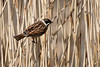 Male Reed Bunting - Explore #261 31-03-2018 (Karen Roe) Tags: lakenheath fen lakenheathfen naturereserve nature reserve suffolk county england britain uk unitedkingdom greatbritain gb canoneos760d canon 760d 150600mm sigma zoom wildlife hide march 2018 peaceful quiet tranquil outside spring weather season camera photography photograph photographer picture image snap shot photo karenroe female flickr visit visitor rspb royal society protection birds member