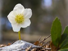 P3220214 (turbok) Tags: alpenpflanzen pflanze schneerosechristroseoderweihnachtsrosehelleborusniger wildpflanzen c kurt krimberger