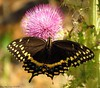 The Palamedes Swallowtail (Papilio palamedes) (Gary Helm) Tags: butterfly palamedesswallowtail photograph image wildlife nature outside outdoor insect bug fly flitter thistles animal ghelm4747 garyhelm joeoverstreet flower nector osceolacounty florida threelakeswildlifemanagementareaprarielakes large black floridawildlife macro