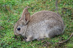 Easter Bunny (R.K.C. Photography) Tags: easter bunny rabbit wildlife luton bedfordshire england unitedkingdom uk londonlutonairport ltn eggw canoneos100d