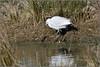 Little Egret (image 2 of 2) (Full Moon Images) Tags: rutland water wildlife trust nature reserve bird little egret