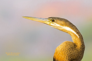 African Darter Close-Up at Chobe National Park, Botswana