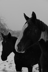 Two Strangers (cap.) Tags: blackwhite horse animal pferd tier winter winterwonderland cold snow