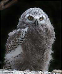 Young Snowy owl (Fisherman01) Tags: schneeeule snowyowl zoobasel