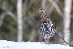 Tétra du Canada femelle (jocelyn.galipeau) Tags: tétra du canada sauvage animal forêt hiver neige québec